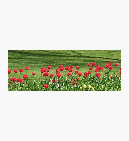 Red Tulip Parade in Chelmsford Photographic Print