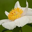 Rushlight - Peaonia (Peony) by Tracey  Dryka