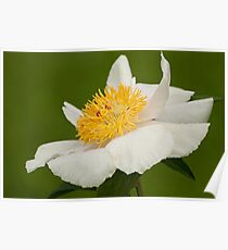 Rushlight - Peaonia (Peony) Poster