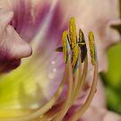 macro Daylily - my garden, Ottawa, Ontario by Tracey  Dryka