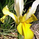Yellow Japanese Iris by Shulie1