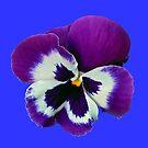 Purpurroter und weißer Pansy auf blauem Hintergrund von BlueMoonRose