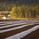 Strawberry Farm, Grove, Tasmania by Chris Cobern
