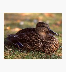 A Duck Photographic Print