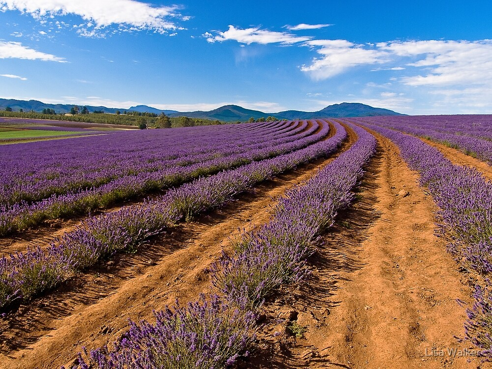Tasmania Lavender by Lisa Walker