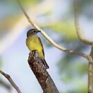 Yellow bellied fly catcher by David  Hibberd