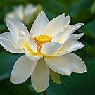 Lotus by Bevlea Ross