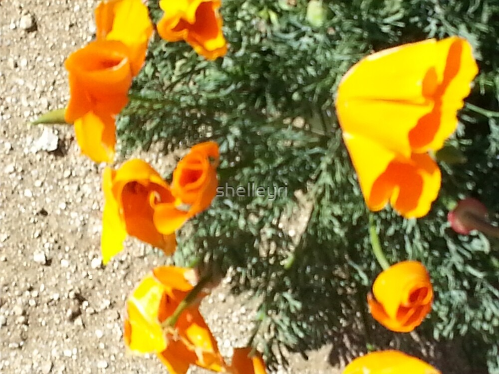 California Poppies by shelleyri
