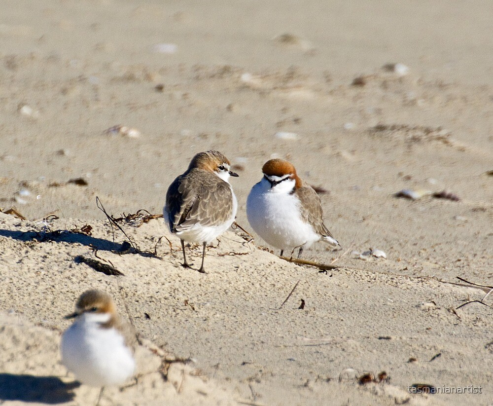 Red-capped Plover by tasmanianartist