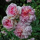 Pink Roses by Karen  Betts