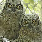 Great Horned Owl Fledglings by tomryan