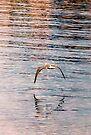 Bird skimming. by Kerensa Davies