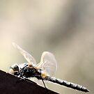dragonfly by Heike Nagel