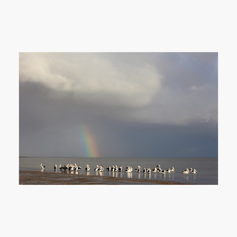Lake Albert Pelicans, Meningie, South Australia Photographic Print