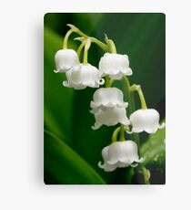 Lily of the Valley (Convallaria majalis) Metal Print