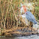THE GOLIATH HERON AND THE TIGER FISH 3 by Magriet Meintjes