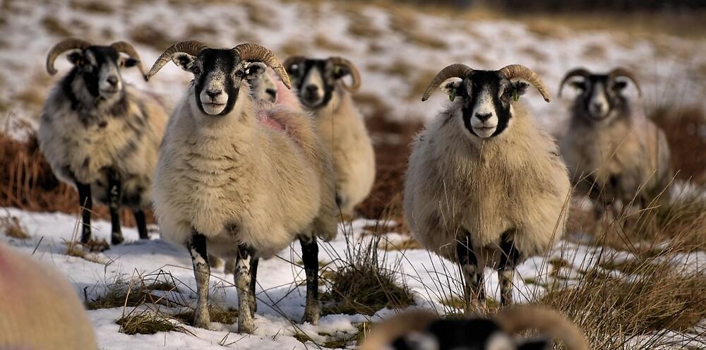 ewes by UndaJ