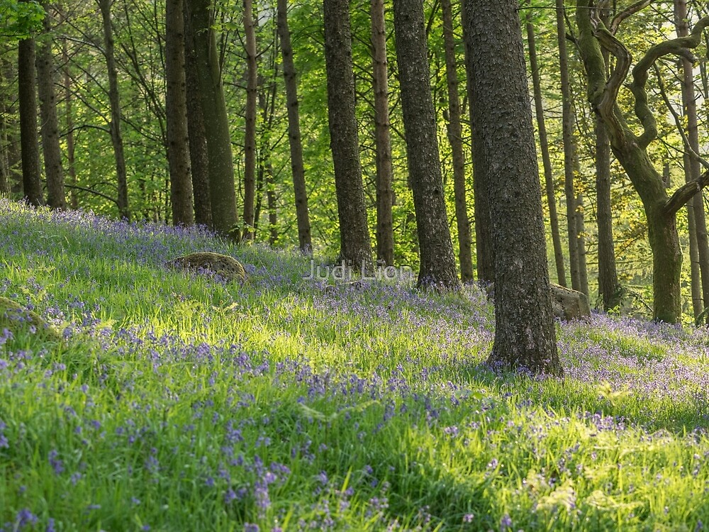 Bluebells in the evening sunshine by Judi Lion