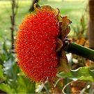 SCADOXUS puniceus - Blutlilie - Rooikwas von Magriet Meintjes
