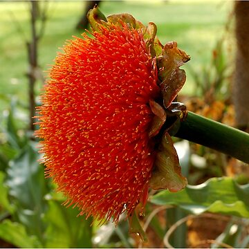 SCADOXUS puniceus – Blood Lily – Rooikwas by mags