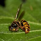 Busy Bee by redscorpion