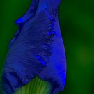 Iris - my garden, Ottawa, ON by Tracey  Dryka