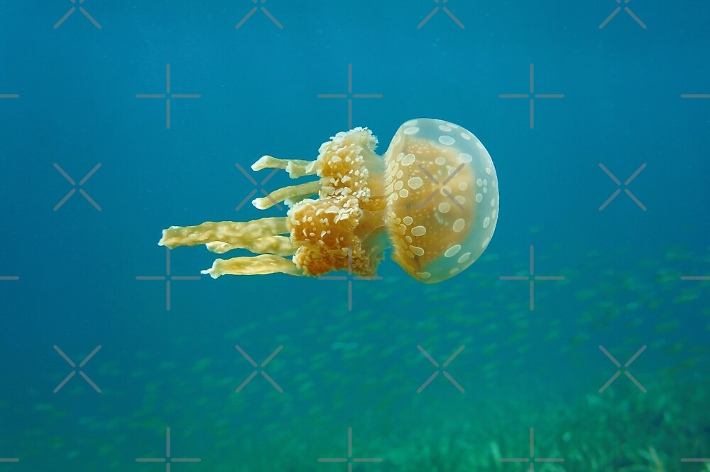 Jellyfish underwater sea by Dam - www.seaphotoart.com