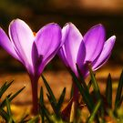 PURPLE CROCUS GLOW by RGHunt