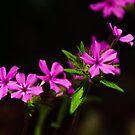 wild pink by Phillip M. Burrow