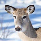 Junge Hirsche mit erstaunlichen Augen. von CanadianWild418
