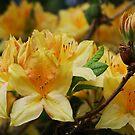 Golden Azalea by Marjorie Wallace