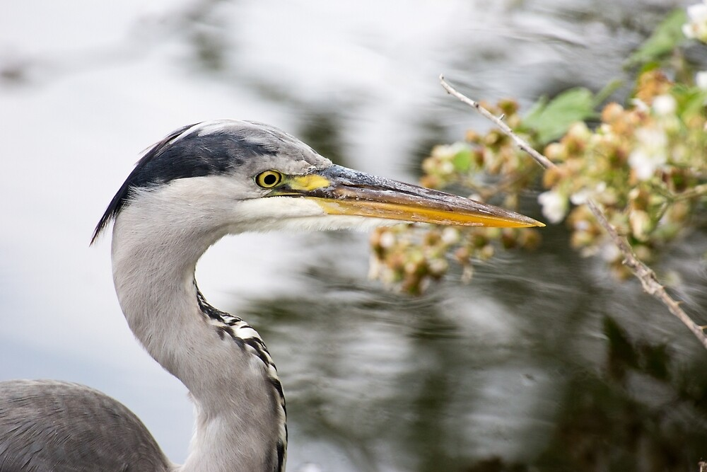 Grey Heron by Ellesscee