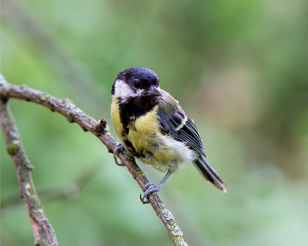 Great Tit by Ellesscee