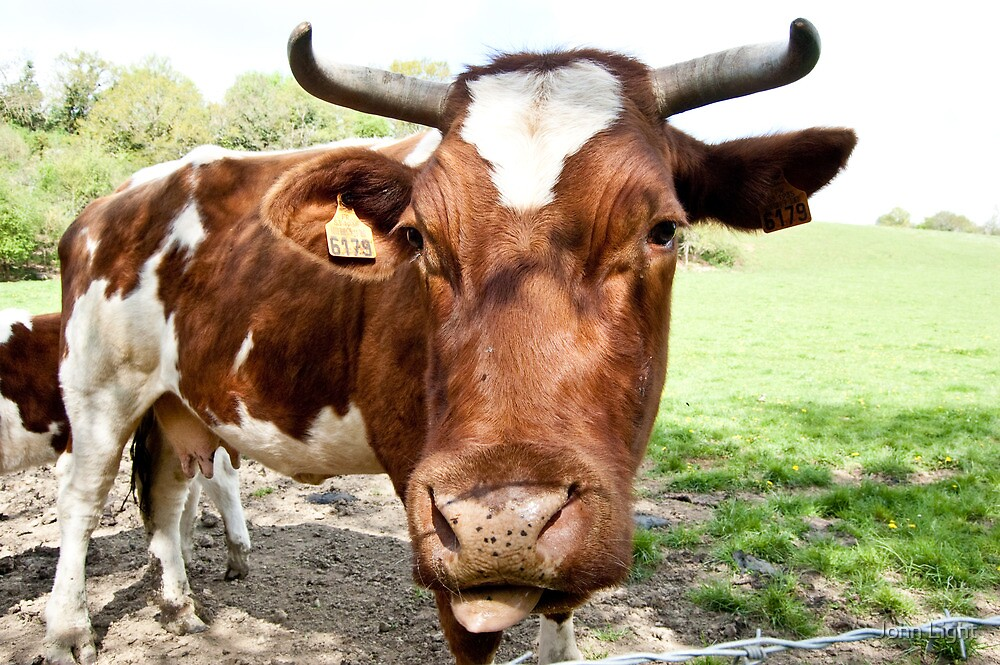 Cow looking at me! by John Light