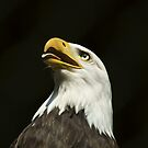 Bald Eagle!! by apollon