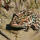 Leopard Frog by Sean McConnery
