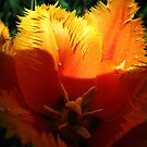 Tulip with Gold Shine. by Vitta