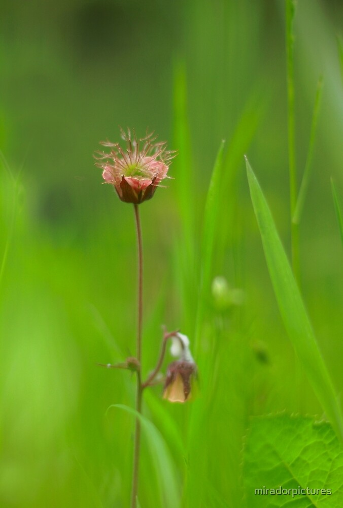 Water avens in bloom by miradorpictures