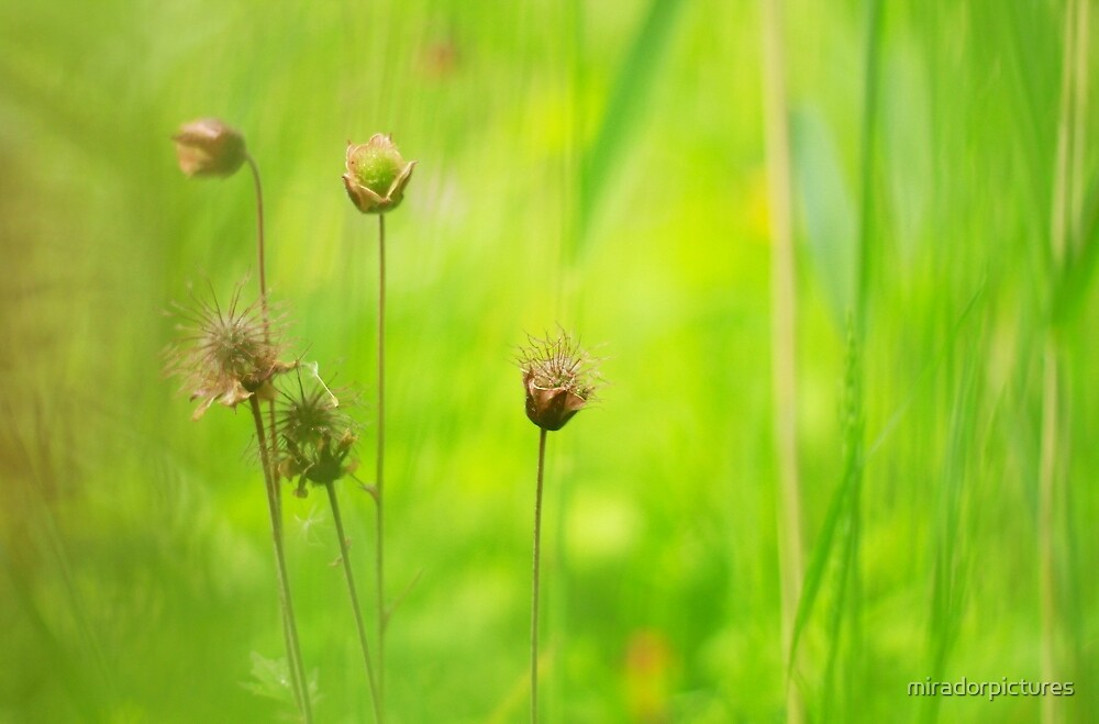 Blooming avens by miradorpictures