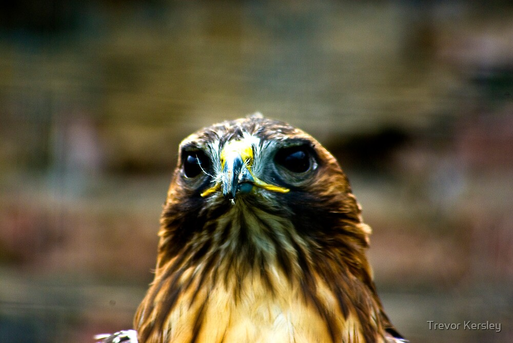 Hawk #2 by Trevor Kersley