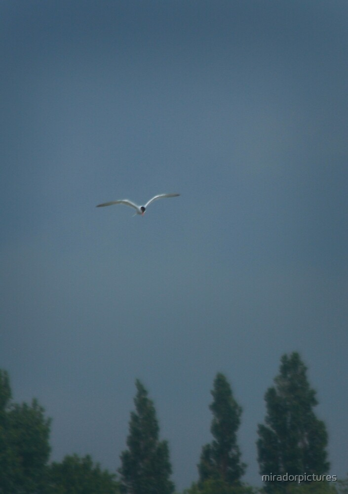 A gloomy tern by miradorpictures