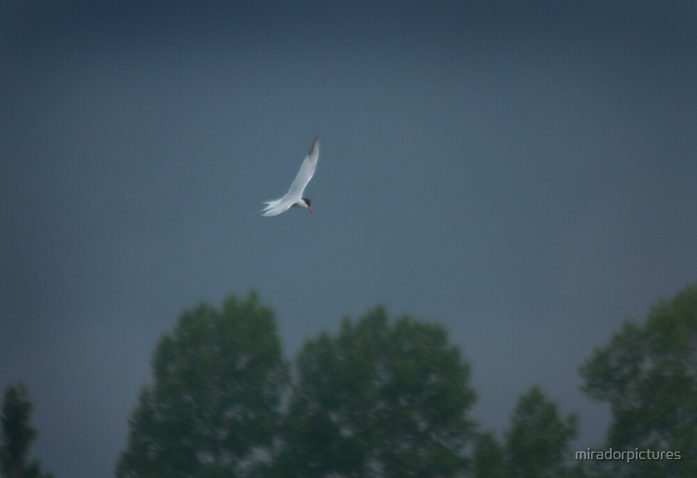 Soaring tern by miradorpictures
