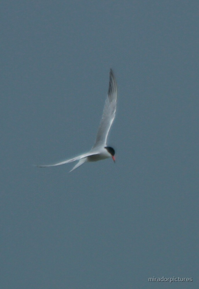A stunning tern by miradorpictures