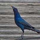 Cherry Grove Pier Male Grackle by TJ Baccari Photography