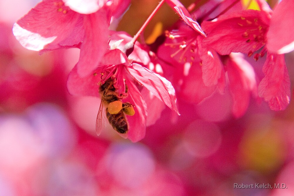 Bee and crab apple tree blossom by Robert Kelch, M.D.