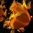 Amber Tulips. by Vitta