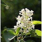 White Lilac by Judi FitzPatrick