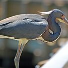 Tri-Colored Heron by nauticalelf