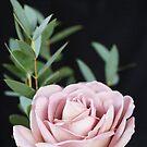 Dusky Pink Rose on black Background by Alex Sharp