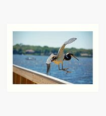 Flying Tri-Color Heron Art Print